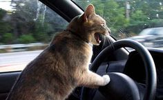 This cat who has extreme road rage.   32 Animals Who Think They're People