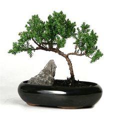 Bonsai Tree Small Juniper Indoor Outdoor Plant by INDIJONEStudio