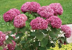 The Best New Hydrangeas - FineGardening Hydrangea, Seed Starting, Flowers, Bloom, Garden Design, Green Leaves, Design Succulents, Plants, Fine Gardening