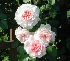 My Granny | Ludwigs Roses : A spreading shrub covered with lush green foliage  blooms of the lovely full rosette form. Basal stems soon start forming large clusters of blooms which, with their weight, arch gracefully. New flowering stems are added  soon a 'rose hump' about 1m x 2m is formed. The flowering branches cascade.