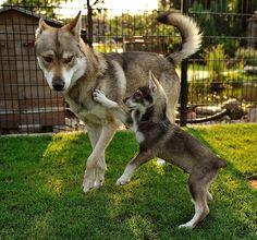 My favorite breed! Tamaskan!