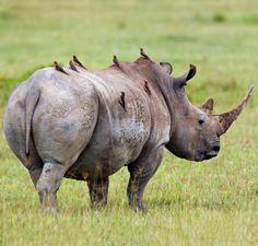 Tanzania Safari Tours conveys the natural spectacles & Tanzania Safari Packages signify the adoring image of Africa. Customize your Tanzania Safari with us! African Animals, African Safari, Big Animals, Animals And Pets, Save The Rhino, Photo Animaliere, Tanzania Safari, Animal Species, Wild Life