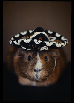 my pig in a sombrero. what? copyright 2012 tbaxagocsy #guineapig