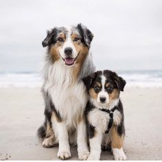 Everything About The Energetic Australian Shepherd Puppies Grooming Australian Shepherd Puppies, Aussie Puppies, Cute Dogs And Puppies, Australian Shepherds, Doggies, Cute Baby Animals, Animals And Pets, Sweet Dogs, Love Dogs