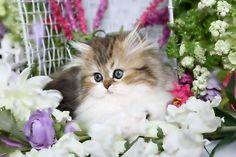 Doll Face Kitten