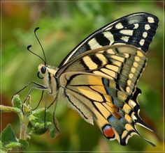 beautiful butterfly (swallowtail)