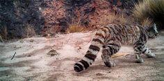 Gato andino - Foto EFE