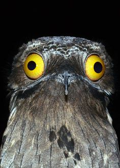 ⚠Potoos are real!⚠ Learn all about these crazy birds: 30 Potoo Facts: The Bird Behind the Meme Species) Tons of Photos! Weird Birds, Funny Birds, Kinds Of Birds, Ugly Animals, Cute Animals, Great Potoo, Potoo Bird, Planet Pictures, Nature Pictures