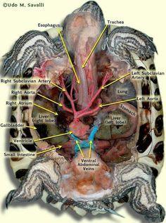 Subclavian Artery, Vet Med, Tortoises, Turtles, Tech, Veterinary Medicine, Animal Anatomy, Tortoise, Turtle