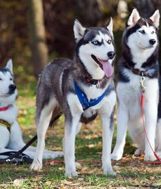 Siberian Husky |  Woofipedia.com | Celebrates all dogs, and the people who love them. Our aim is to engage, entertain, and educate.