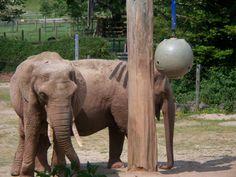 giraffe enrichment images   Elephant Enrichment » Paignton Zoo Gallery