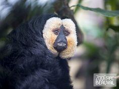 #Saki à face blanche - ZooParc de Beauval