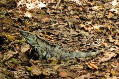 Black spiny tailed iguana at Carara Rainforest, Costa Rica | Love & Adventure