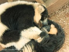 Black and White Ruff Lemurs in Love