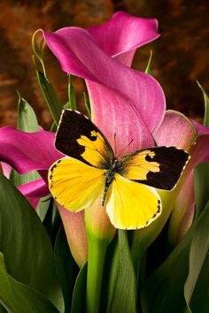 YELLOW BUTTERFLY AND A PINK LILY