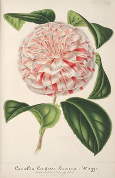 Camellia Comtesse Lavinia Maggi. Plate from 'L'Illustration horticole' by Charles Lemaire. (1854)