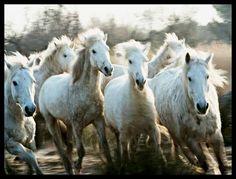 Herd of Camargue horses running - pg.45  Controlla su http://www.zenoarte.com/stampe-poster-roma/ i formati in cui può essere stampata