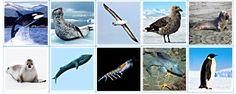 Монтессори-материал. Карточки антарктических животных