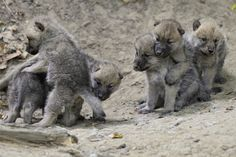 6 Playful Arctic Wolf Cubs by Josef Gelernter *Playmate's best friend? I want a wolf puppy!