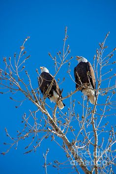 Bald Eagles on my morning walk. Hockey Pictures, Bird Pictures, Eagle Pictures, Eagle Artwork, Largest Bird Of Prey, Where Eagles Dare, Eagle Wings, Birds Of Prey, My Animal
