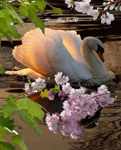 Beautiful Swan, Beautiful Birds, Good Morning Beautiful Quotes, Amazing Gifs, Fauna, Bird Feathers, Faeries, Animals And Pets, Photo Art
