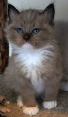 Ragdoll are extremely smart cats. Ragdolls learn how to fetch easily. They are large cats, one of the largest of all cat breeds Kittens And Puppies, Cute Cats And Kittens, Cool Cats, Kittens Cutest, Funny Kittens, White Kittens, Black Cats, Pretty Cats, Beautiful Cats