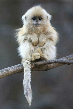 GOLDEN SNUBBED NOSED MONKEY