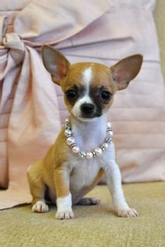 Love the pearls puppy -chihuahua