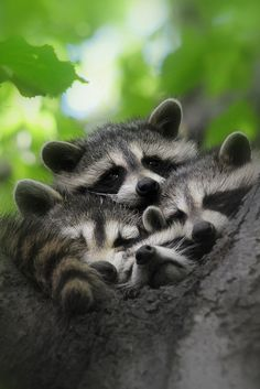 "♡ "" a gaggle of raccoons...."""