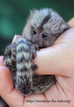 30 Best Monkeys For Sale Pictures images | Monkeys for sale