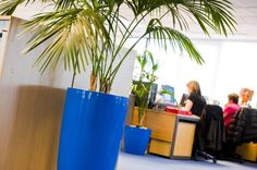 Blue pots add corporate colour to an office planting scheme