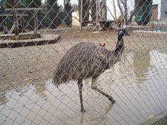 en Valonga: emú