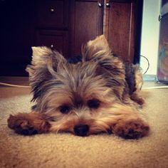 Downward facing dog: my kinda yoga....my Yorkie does this!!