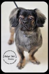 Meeko is an #adoptable Pekingese Dog in #Minneapolis, #MINNESOTA.