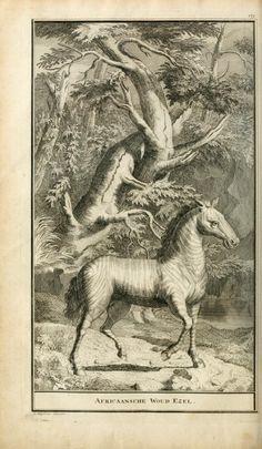 Zebra. Naaukeurige en uitvoerige beschryving van kaap de Goede Hoop Amsterdam :By B. Lakeman,1727. Biodiversitylibrary. Biodivlibrary. BHL. Biodiversity Heritage Library