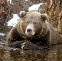 Картинки по запросу brown bear hunt in russia