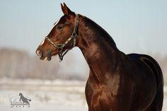 Russian Trotter stallion Гранит (Granit)