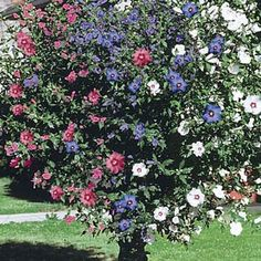 3-in-1 Rose of Sharon - Wow!  I want one of these!!!