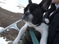 Have you ever tried a chairlift? I'm telling you, the view and the feeling it's magnificent! French Bulldog, Told You So, Feelings, Dogs, Travel, Animals, Viajes, Animales, Animaux