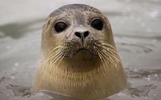 images of seals | Seals use their whiskers to detect invisible trails left behind in the ...