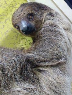 Two Toed Sloth, Sloths, Bear, Animals, Animales, Animaux, Bears, Animal, Animais