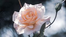 Pale Orange Color by jiri Miya Pale Orange, Orange Color, Rose, Flowers, Plants, Pink, Roses, Flora, Royal Icing Flowers