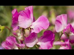 Guisantes de flor - Bricomanía - Jardinatis - YouTube