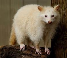 NORTH AMERICAN RACCOON.....leucistic (a loss or partial loss of pigmentation, resulting in white or piebald coloring)...24 to 36 inches in length.....12 to 16 pounds in weight.....found in the wooded areas close to water of North & South America.....can be dropped or jump from a height of 45 feet and remain unharmed.....extremely dexterous front paws