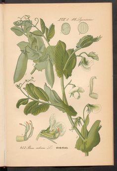 Prof. Dr. Thomé's Flora von Deutschland, Österreich und der Schweiz in Wort und Bild. Peas. Rar 3635