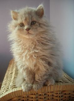 best images and photos ideas about selkirk rex - most effectionate cat breeds