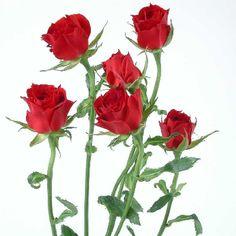 red spray roses-28F