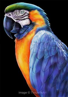 Finished My Blue And Gold Macaw Last Night Prints Poster Are Available Here
