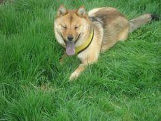 Sadie (formerly Sakura) - adopted May 2013
