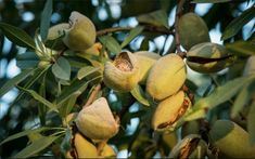 The number of Californian almond groves has nearly doubled over the past decade and now there is even more exciting news to share! Almond Board of California has predicted almond production to increase BY ONE-THIRD, from an estimated 2.25 billion pounds in 2017 to a staggering 3 billion pounds in 2021.